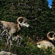 Big Horn Sheep Glacier National Park Art Print