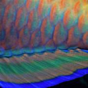 Bigeye Priacanthus Hamrur, Close-up Of Fin Art Print