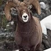 Bighorn Sheep, Maligne Canyon, Jasper Art Print