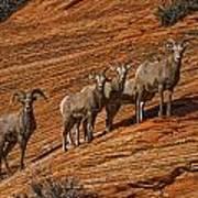 Bighorn Sheep, Zion National Park, Utah Art Print