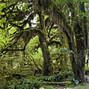 Bigleaf Maple Acer Macrophyllum Art Print