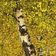 Birch Forest In Finland Art Print