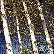Birch Trees In Fall Art Print