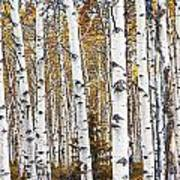 Birch Trees No.0644 Art Print