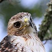 Bird - Red-tailed Hawk - Bashful Art Print