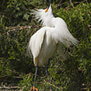 Bird Mating Display - Snowy Egret  Art Print