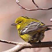 Bird - Pine Warbler - Detail Art Print