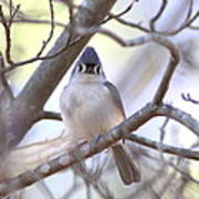 Bird - Tufted Titmouse - Busted Art Print