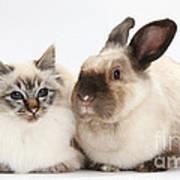 Birman Cat And Colorpoint Rabbit Art Print