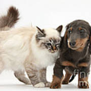 Birman Cat And Dachshund Puppy Art Print