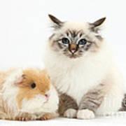 Birman Cat And Frizzy Guinea Pig Art Print