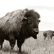 Bison And Calf Art Print by Olivier Le Queinec
