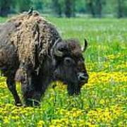 Bison And Friend Art Print