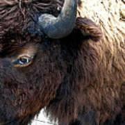 Bison Bison Up Close Art Print