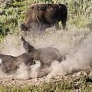 Bison Dust Bath Art Print