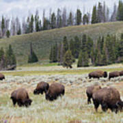 Bison Herd Art Print