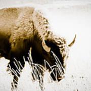 Bison Winter Art Print