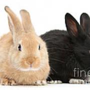 Black And Sandy Rabbits Art Print
