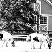 Black And White Clydesdale Grazing Art Print