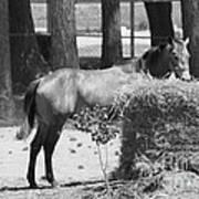 Black And White Hay Horse Art Print