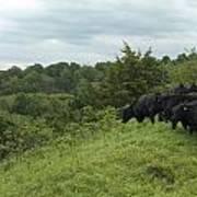 Black Angus Cattle Art Print by Justin Guariglia
