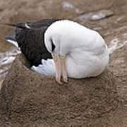 Black-browed Albatross Nesting Art Print by Charlotte Main