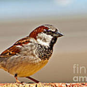 Black-chinned Sparrow Art Print