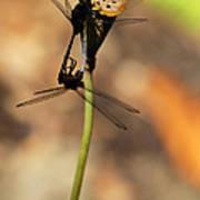 Black Dragonfly Love Art Print