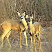 Black Ear Deer Art Print