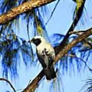 Black Faced Cuckoo Shrike V3 Art Print