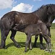 Black Icelandic Horse With Foal Art Print