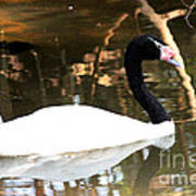 Black Neck Swan Art Print