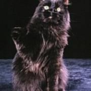 Black Persian Cat Reaches Art Print