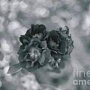 Black Rose With Bokeh Art Print