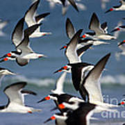 Black Skimmers Flock Art Print by Clarence Holmes