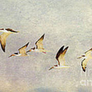 Black Skimmers On The Move Art Print