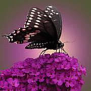 Black Swallowtail 1 Art Print