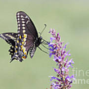 Black Swallowtail Butterfly Feeding Art Print