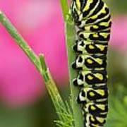 Black Swallowtail Caterpillar On Garden Art Print
