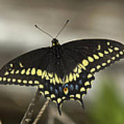 Black Swallowtail Din103 Art Print