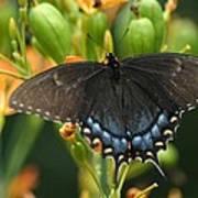 Black Swallowtail Art Print