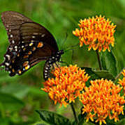 Black Swallowtail Visiting Butterfly Weed Din012 Art Print