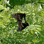 Black Swallowtails Mating Art Print
