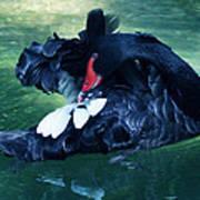 Black Swan Grooming Art Print