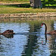 Black Swan's In Palm Springs Art Print