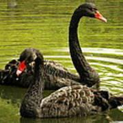 Black Swans Art Print by Jacqui Collett