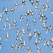 Black-tailed Godwit Limosa Limosa Flock Art Print