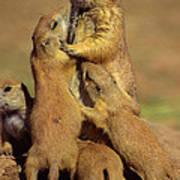 Black-tailed Prairie Dogs Art Print