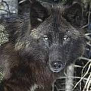 Black Timber Wolf Art Print