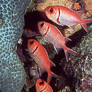 Blackbar Soldierfish Art Print